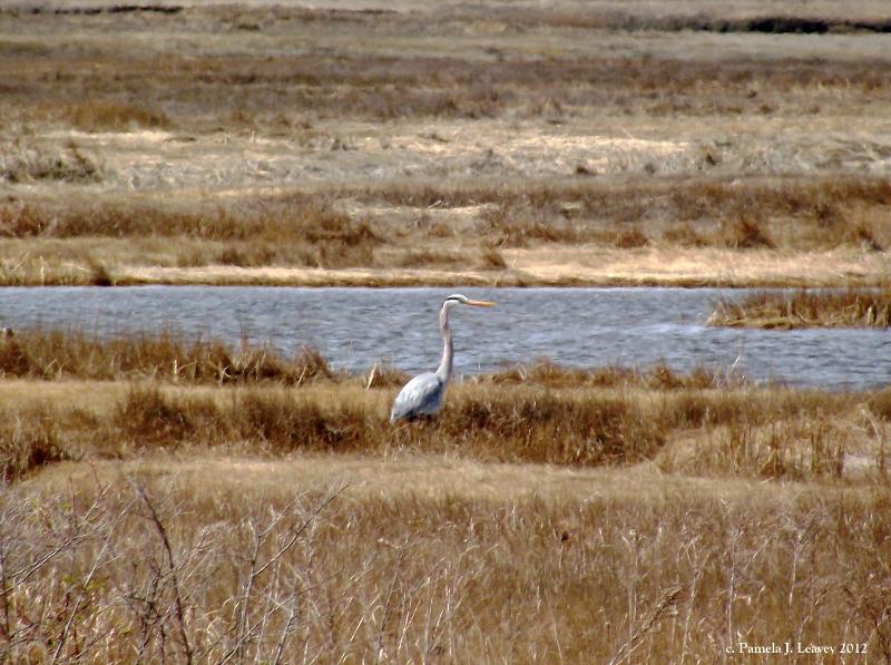 great-blue-heron-3