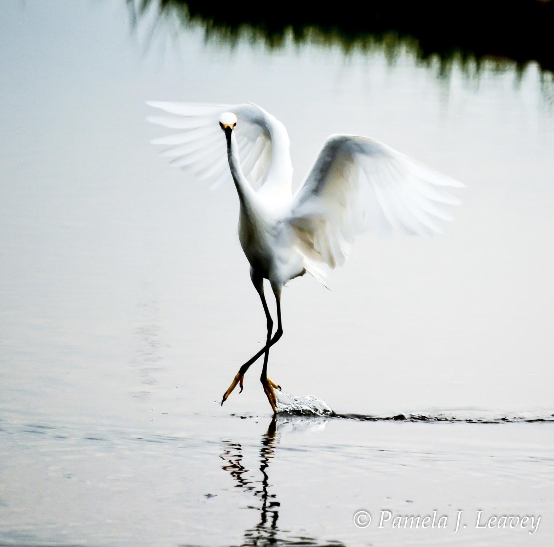 dsc_0747-2-7-x-7-egret-dancing