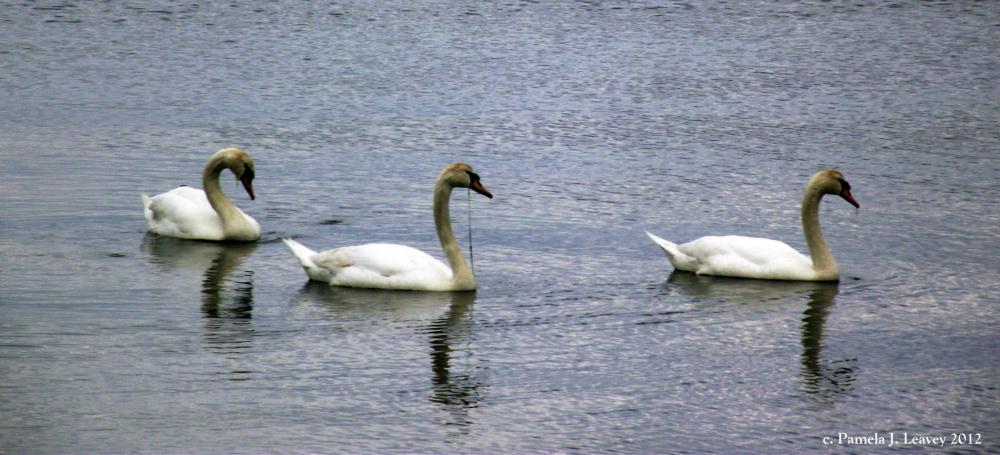 3-mute-swans-at-joppa-2
