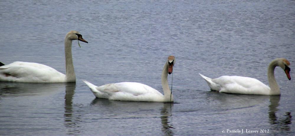 3-mute-swans-at-joppa