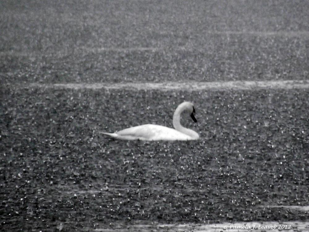 swan-in-the-rain