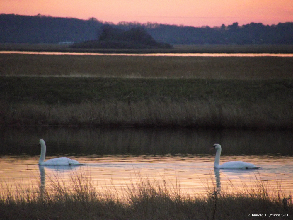 swans11-26