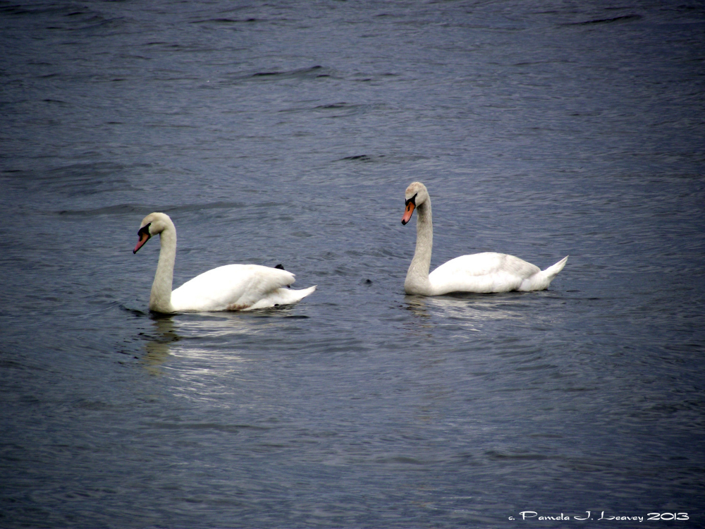 swans2_0