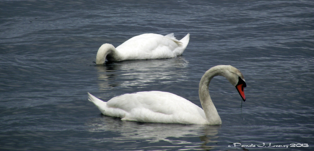 swans3_0