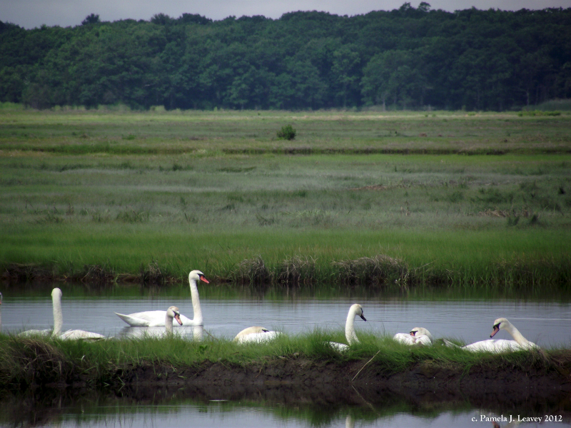 swans6