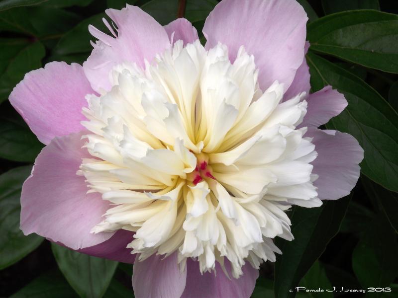 pinkwhitepeony1