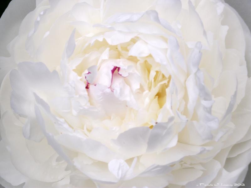 whitepeony1