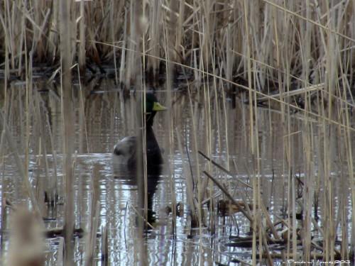 Mallard Duck Hellcat Swamp