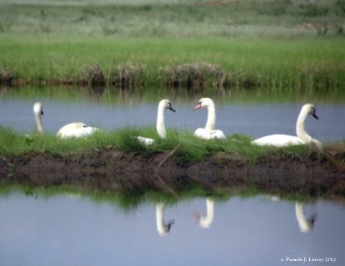 swans4
