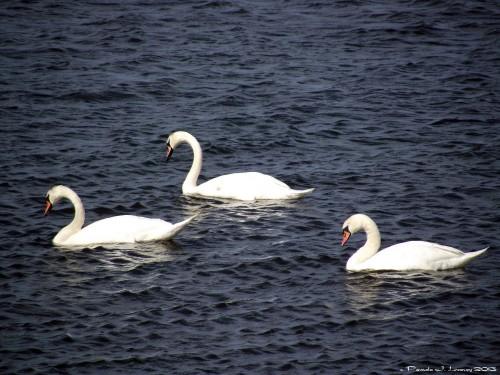 3 Mute Swans at Joppa Flats