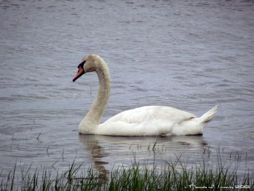 Mute Swan Joppa Flats