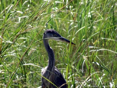 Blue Heron at the Salt Pannes ~ c. Pamela J. Leavey