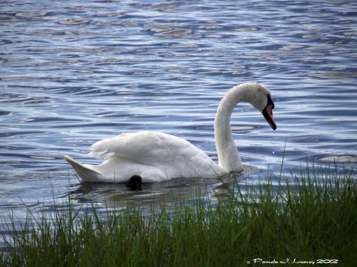 Mute Swan ~ c. Pamela J. Leavey