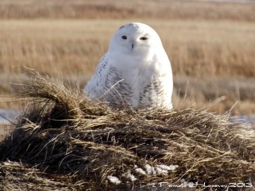 snowy owl on a haystack