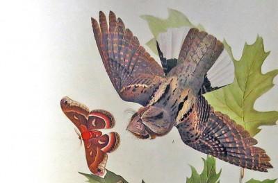 Whip-poor-will_flying_Audubon