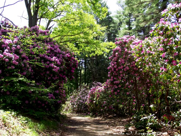 rhodendendrons maudslay2