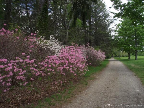maudslay trail pink azalea