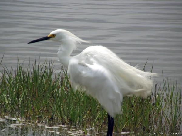 snowy egret-ruffled