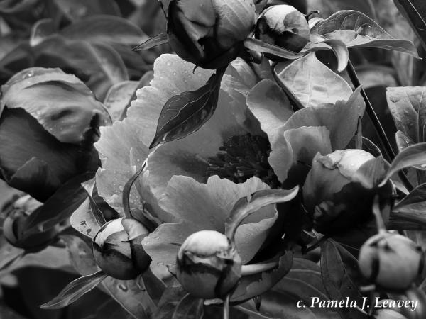 Peony Black & White