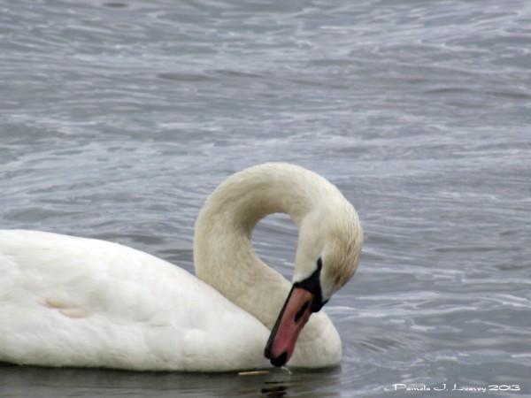 one mute swan at joppa flats