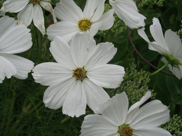 daisies128