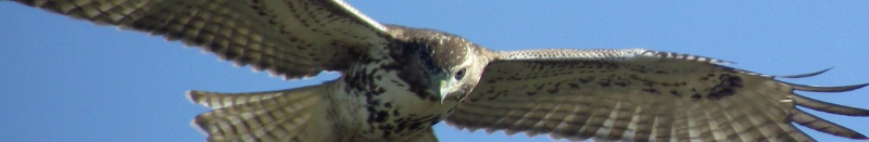 cropped-immature-broad-wing-hawk-4