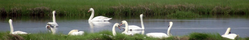 cropped-so-many-swans