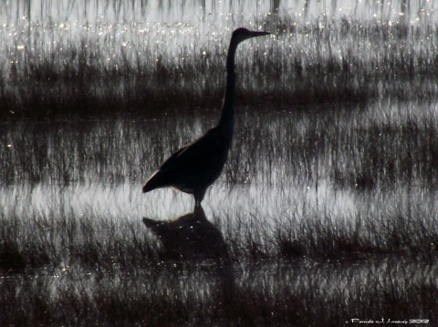 great blue heron reflection