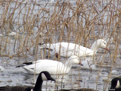 2snowgeese