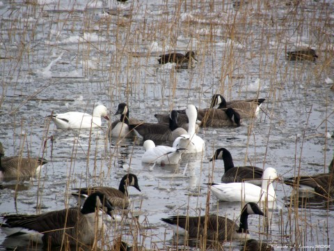 foursnowgeese1