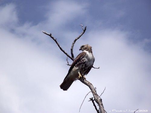 Immature Red Tail Hawk
