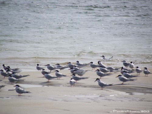 Sea Terns