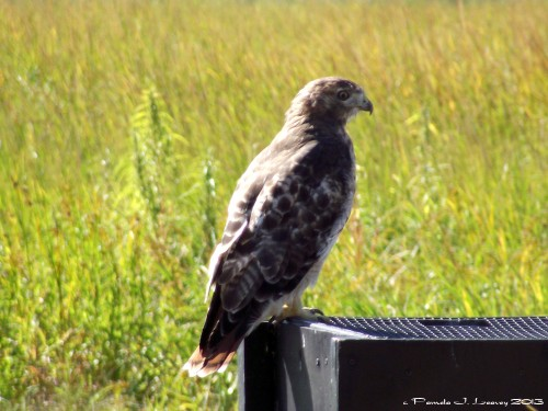 Immature Red Tail Hawk at Plum Island, MA ~ c. Pamela J. Leavey 2013