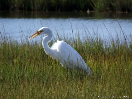 Great White Egret with a Fish ~ c. Pamela J. Leavey 2013