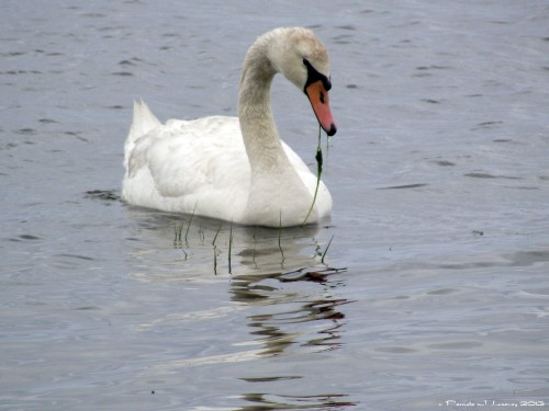 Solo Swan on the River ~ c. Pamela J. Leavey 2013
