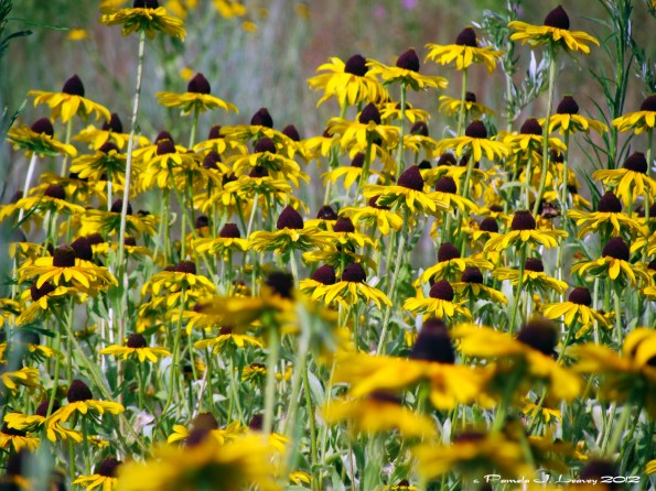 wild black-eyed susans