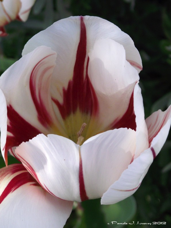 white and red tulip