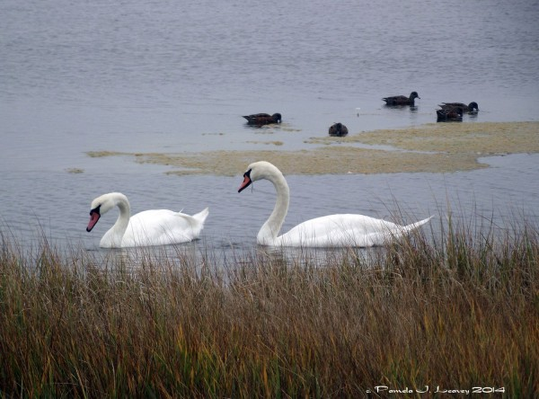Mute Swans at Parker River National Wildlife Refuge