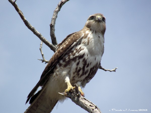 immature redtailed hawk