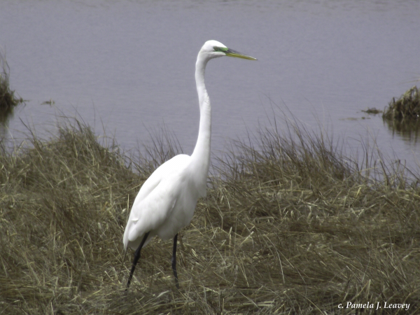 Great White Egret at Parker River National Wildlife Refuge