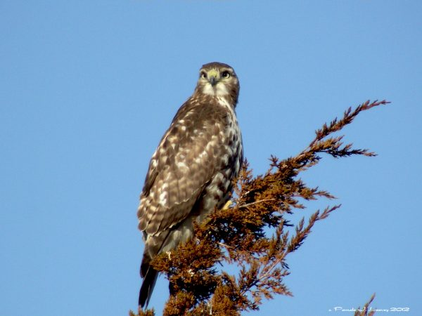 immature red tail3