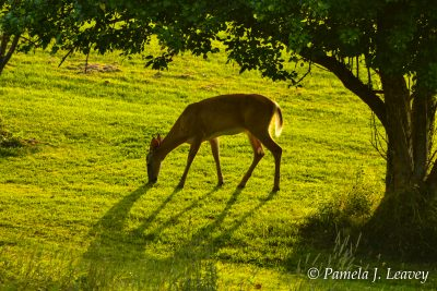 Deer Grazing Under the Apple Trees